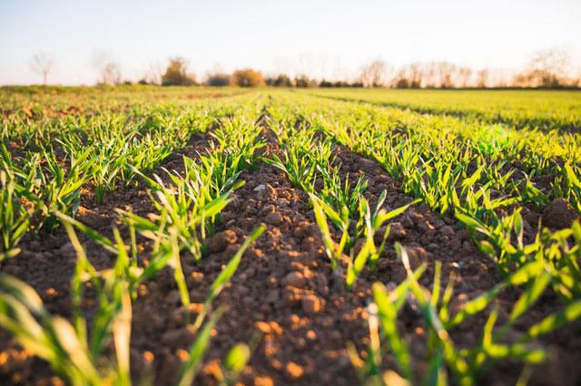Zabiegi herbicydowe na kukurydzę