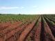 Skuteczne zabiegi herbicydowe na kukurydzę